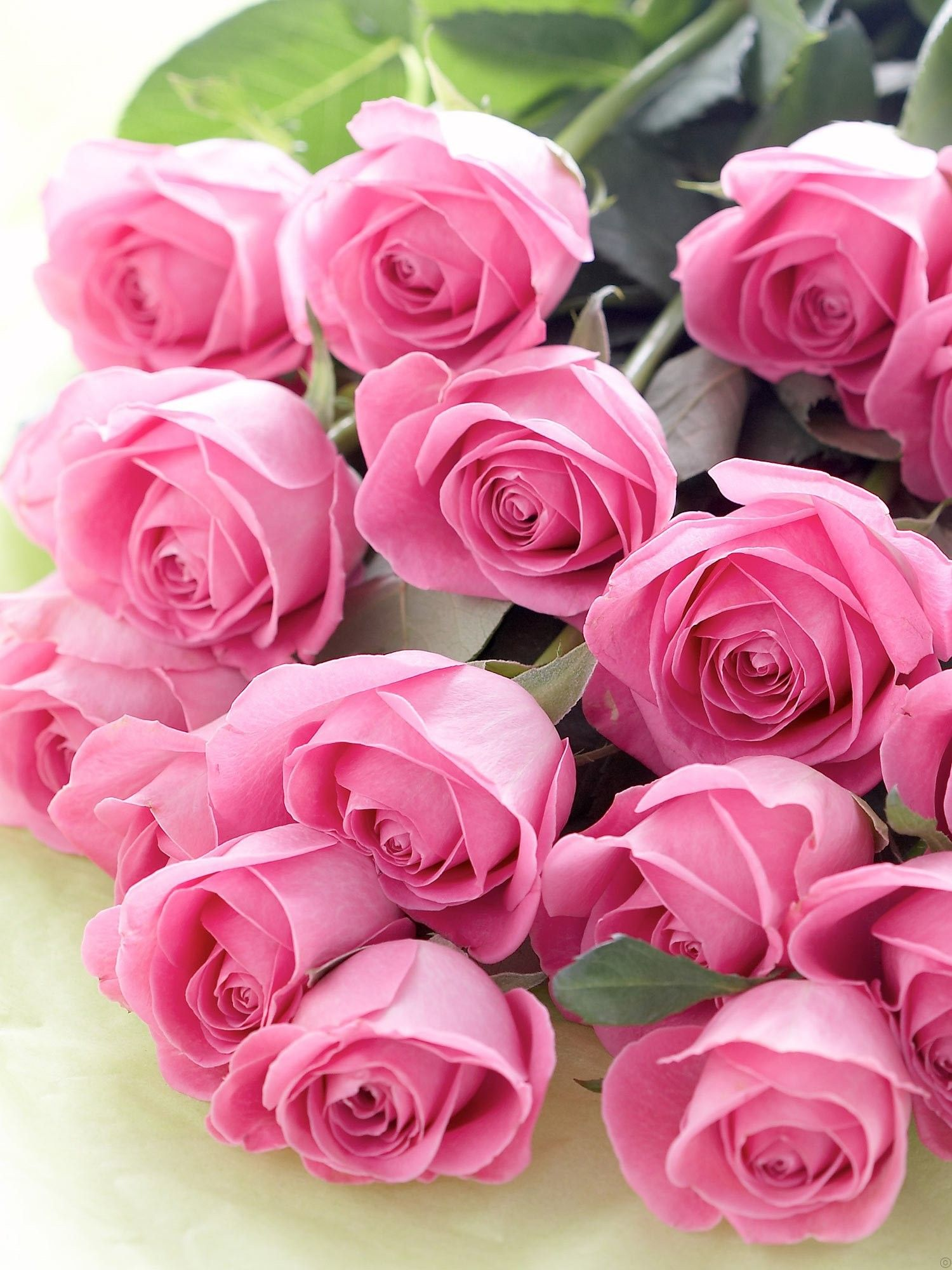Beautiful pink roses make lovely decorative flowers for a