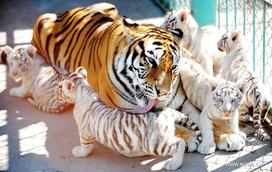Siberian tiger cubs CHINAHARBINBENGALI WHITE TIGER