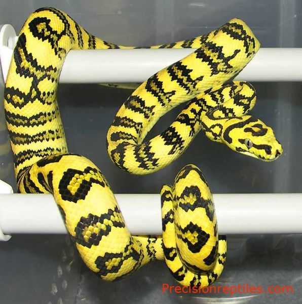 Jungle Jaguar Carpet Python Jag And Jungles Size