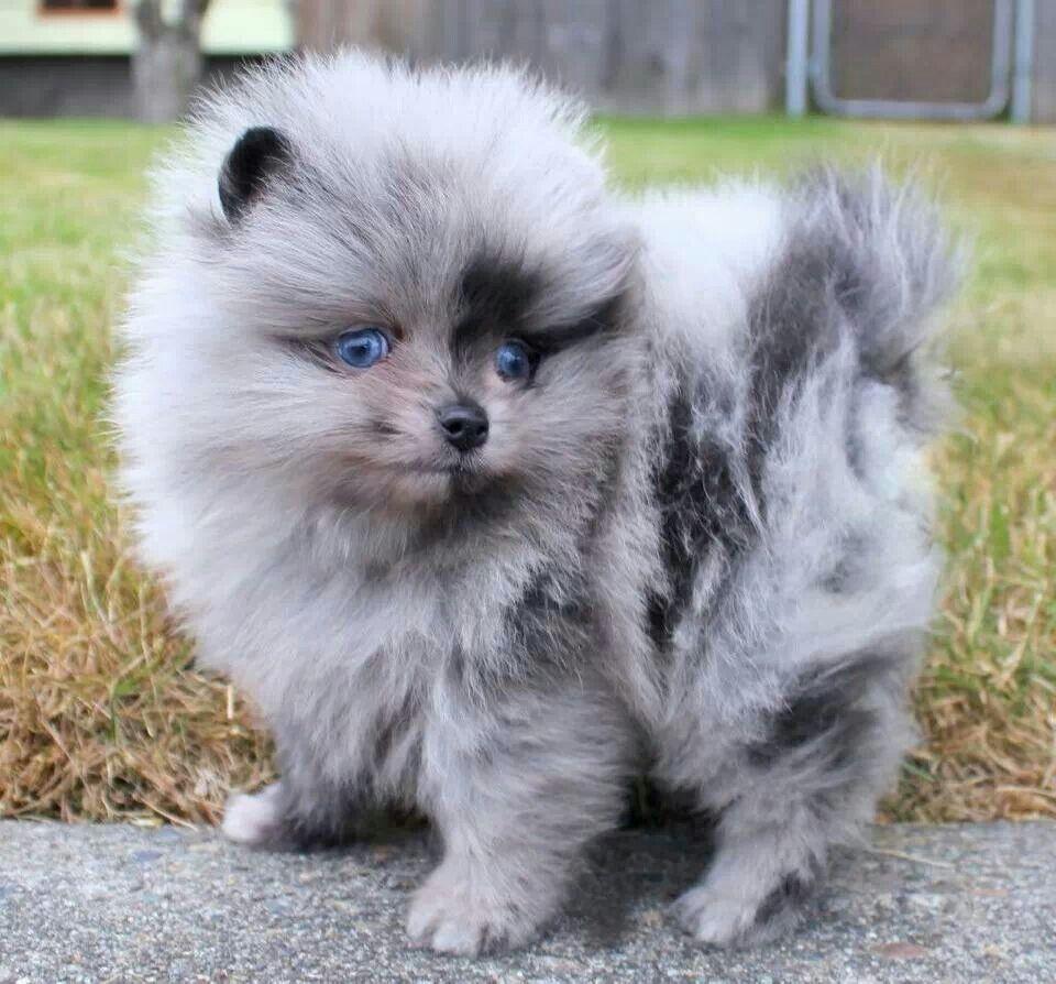 Blue Merle pomeranian Baby Animals Pinterest Blue