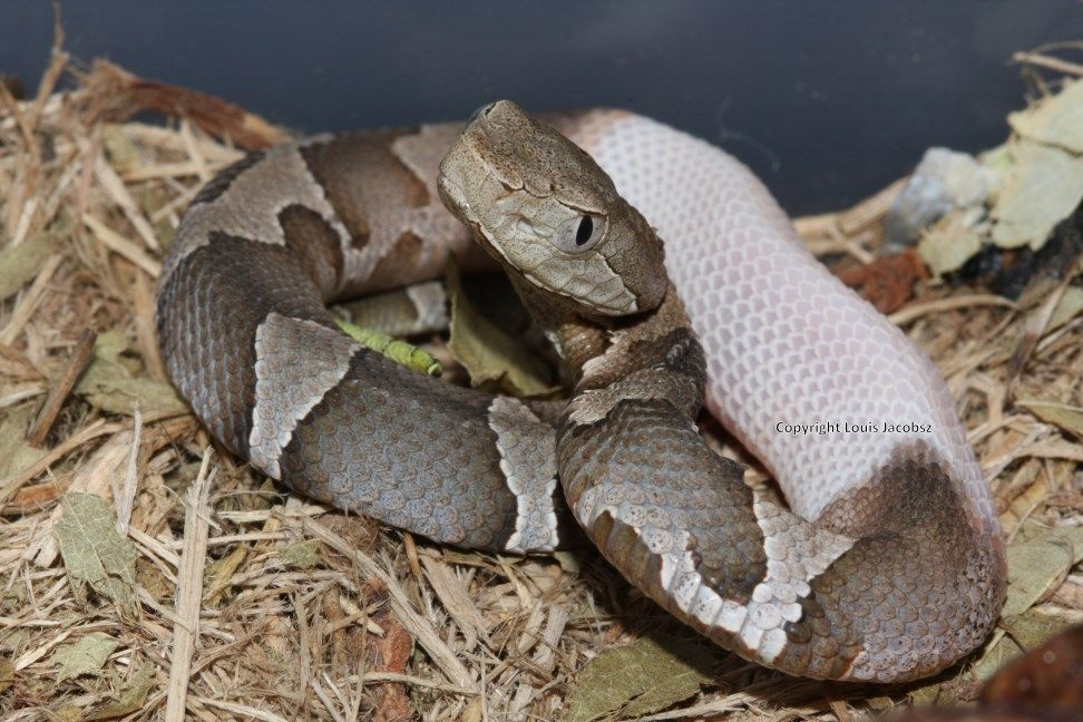 piebald copperhead Google Search Venomous Snakes Odd