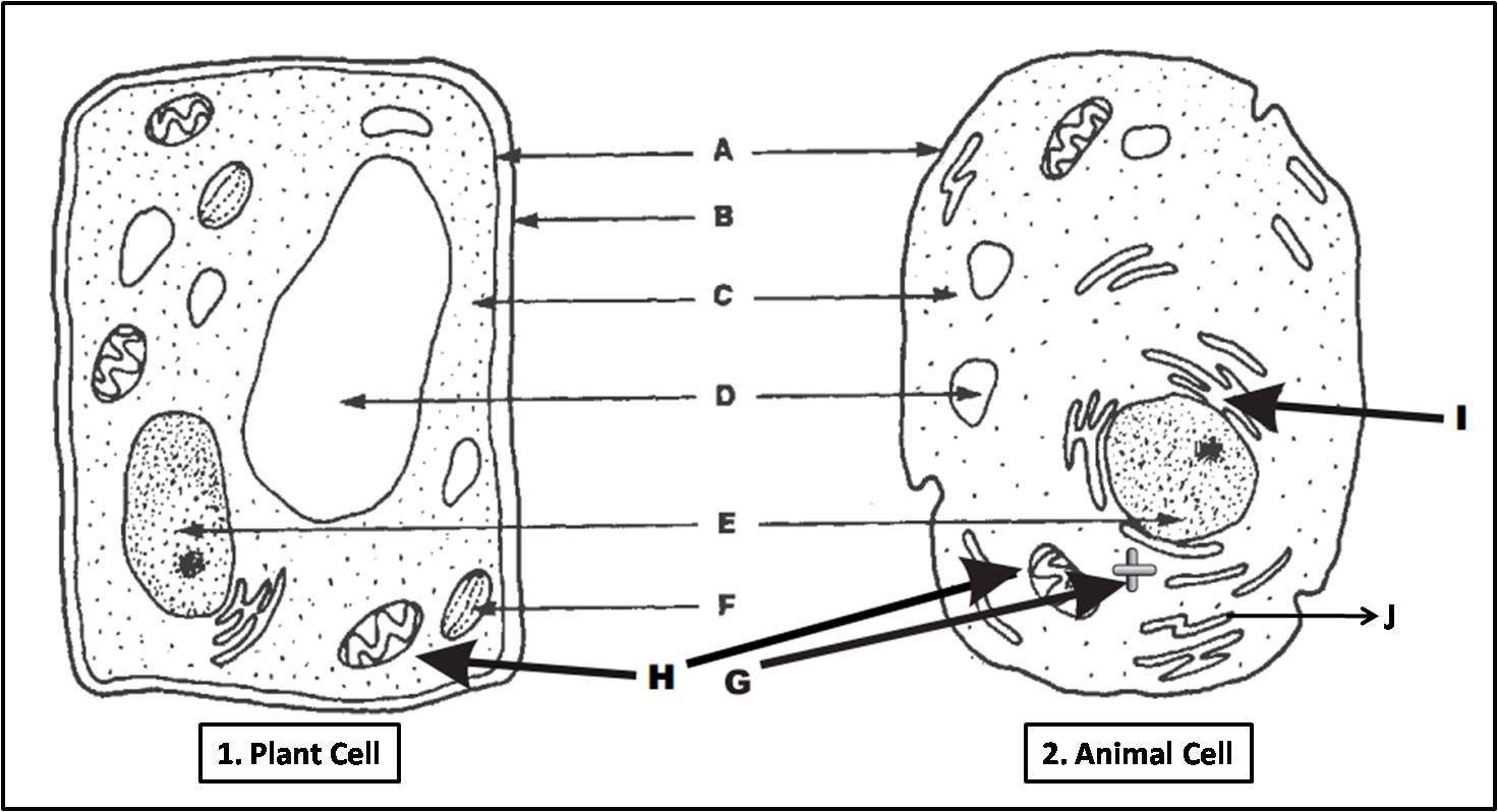 Plant Cell and Animal Cell Diagram Quiz Biology Multiple