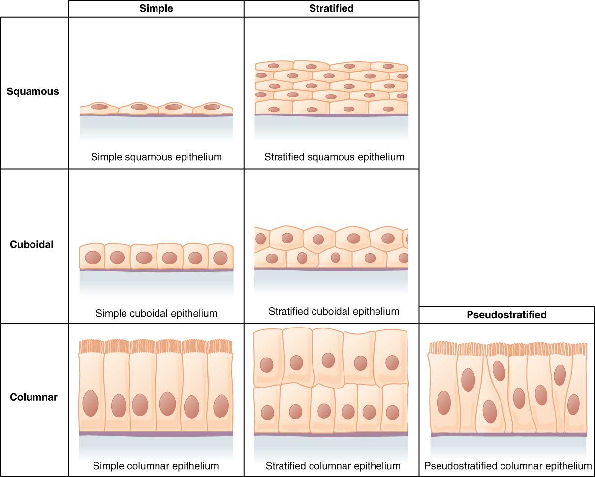 Epithelial Tissue Diagram Unlabeled