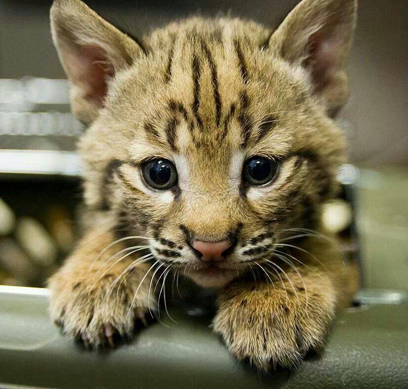 Baby Bobcat ♡ 2 cute! Animals Pinterest Baby bobcat