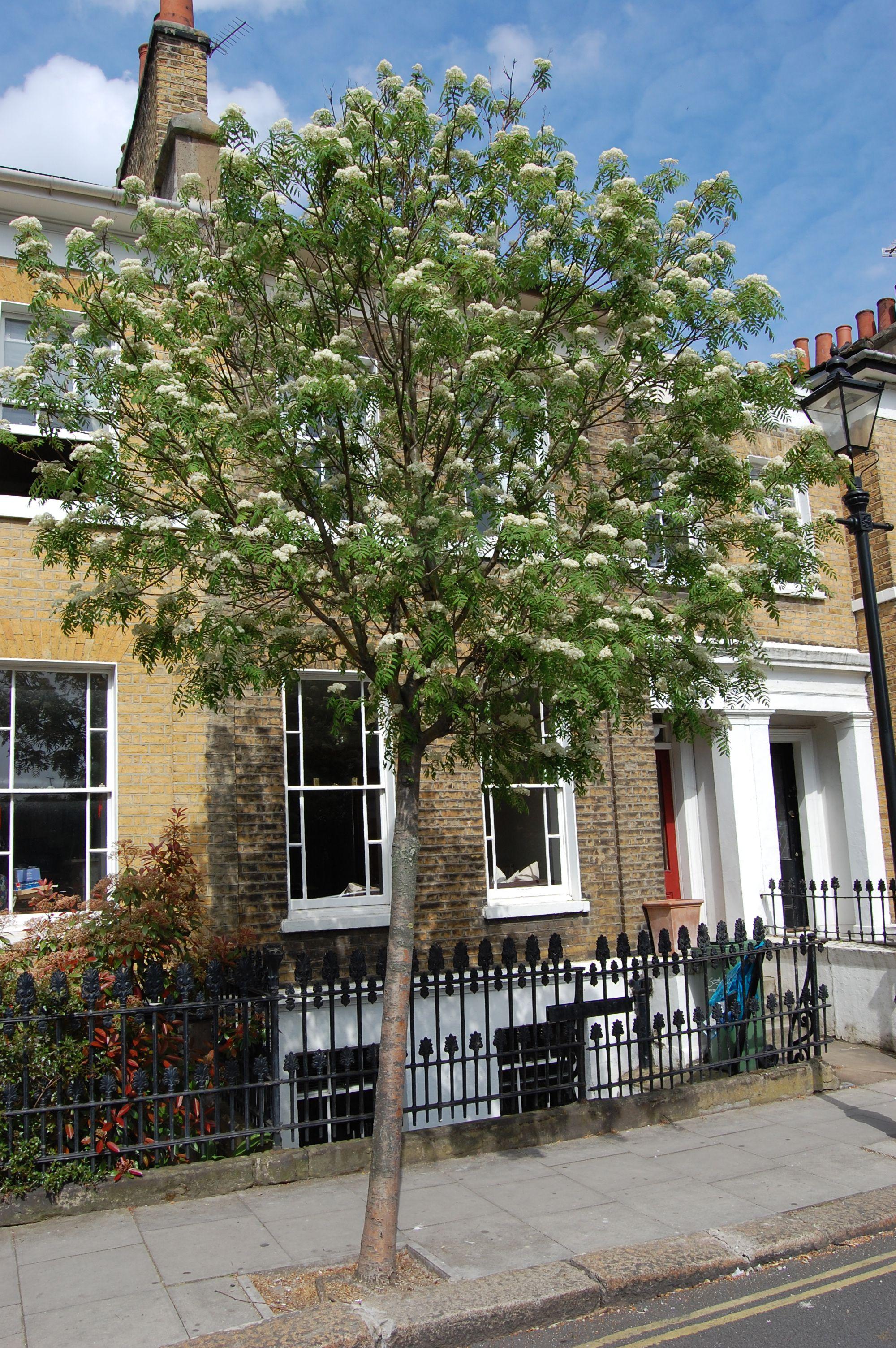 Sorbus aucuparia RHS study Pinterest Garden trees