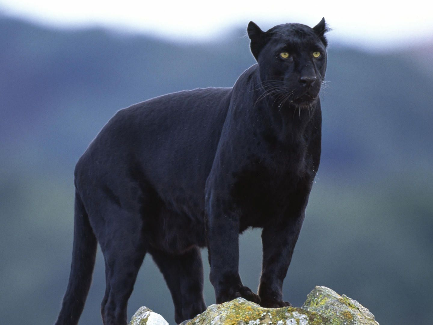 look at this amazing big cat... black panther, black