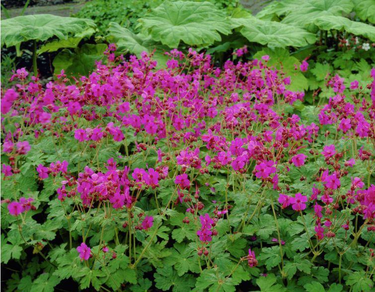 "Geranium macrorrhizum ""Bevan's variety"", ground cover"