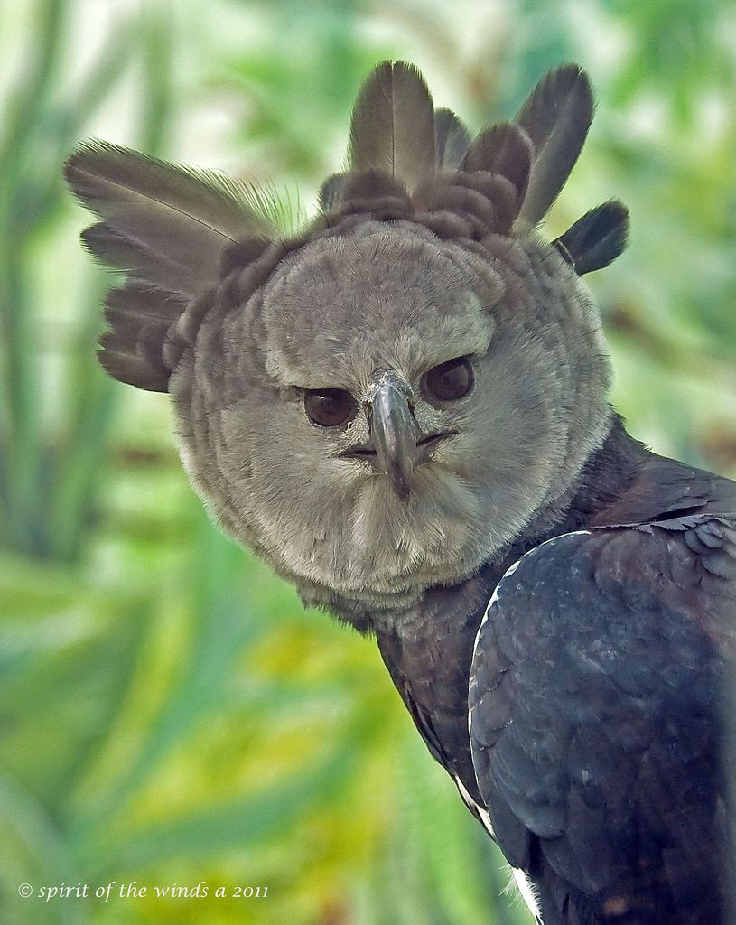 A Stern Look From The Harpy Eagle. Harpy eagle, Bird and