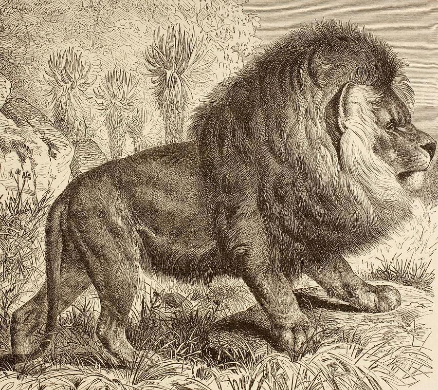 Cape lion,now extinct,since 1865, history Pinterest