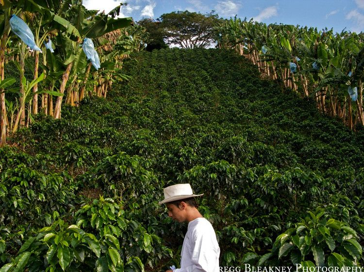Coffee farm in Colombia Colombian coffee has always been