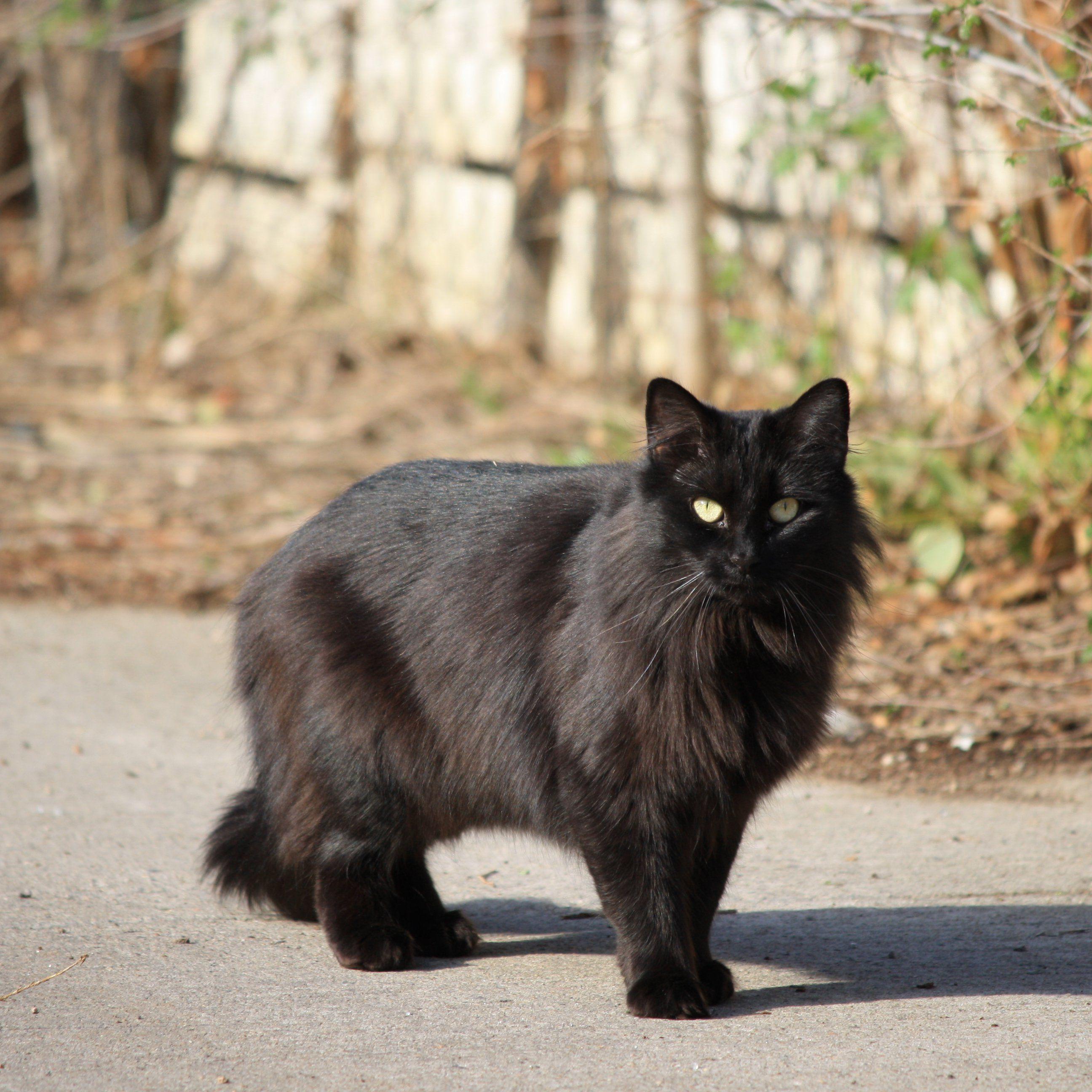 Black Longhaired Cat. So pretty. Looks like Jack. I may