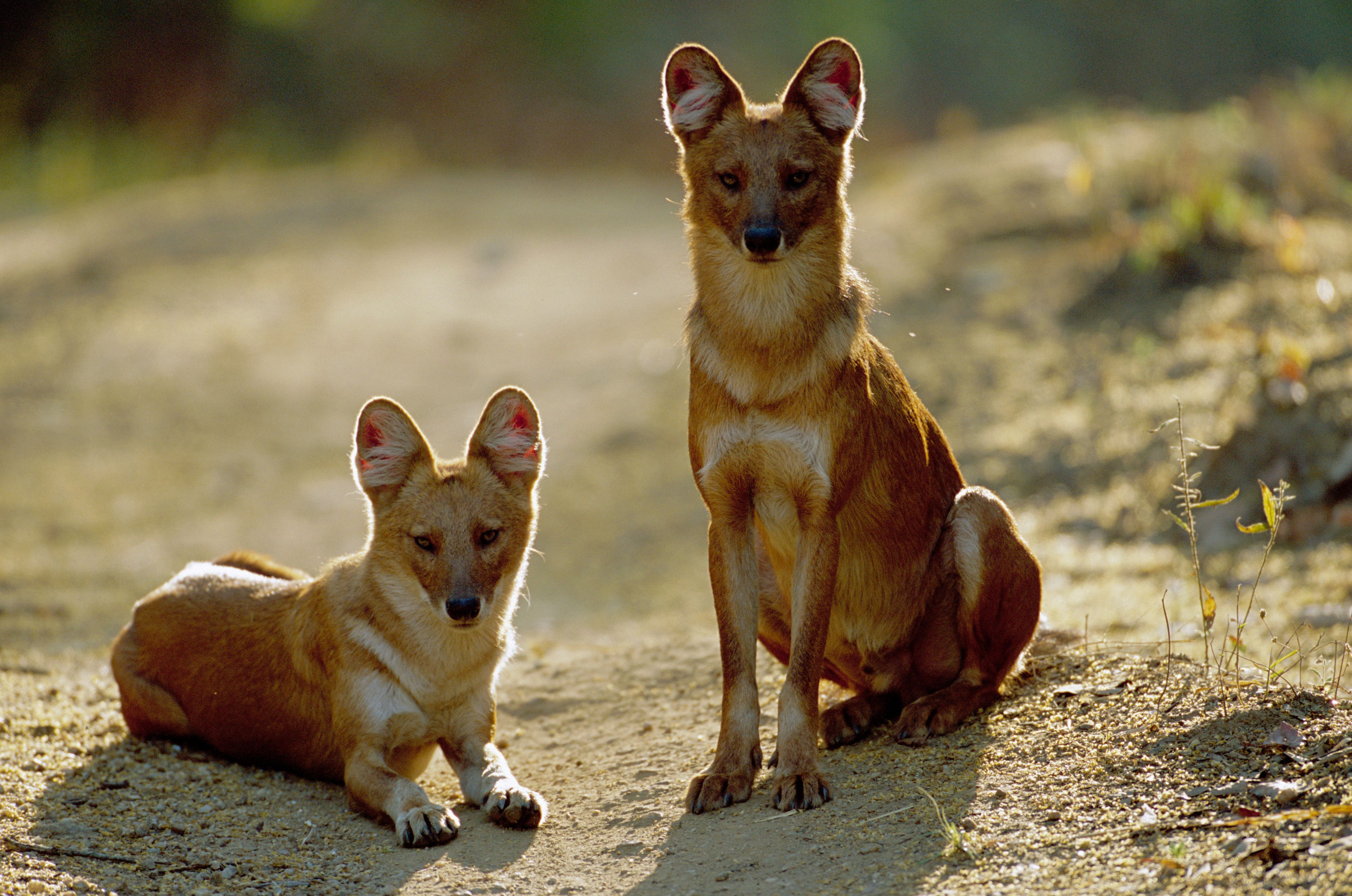 The dhole (Cuon alpinus), is also called the Asiatic wild