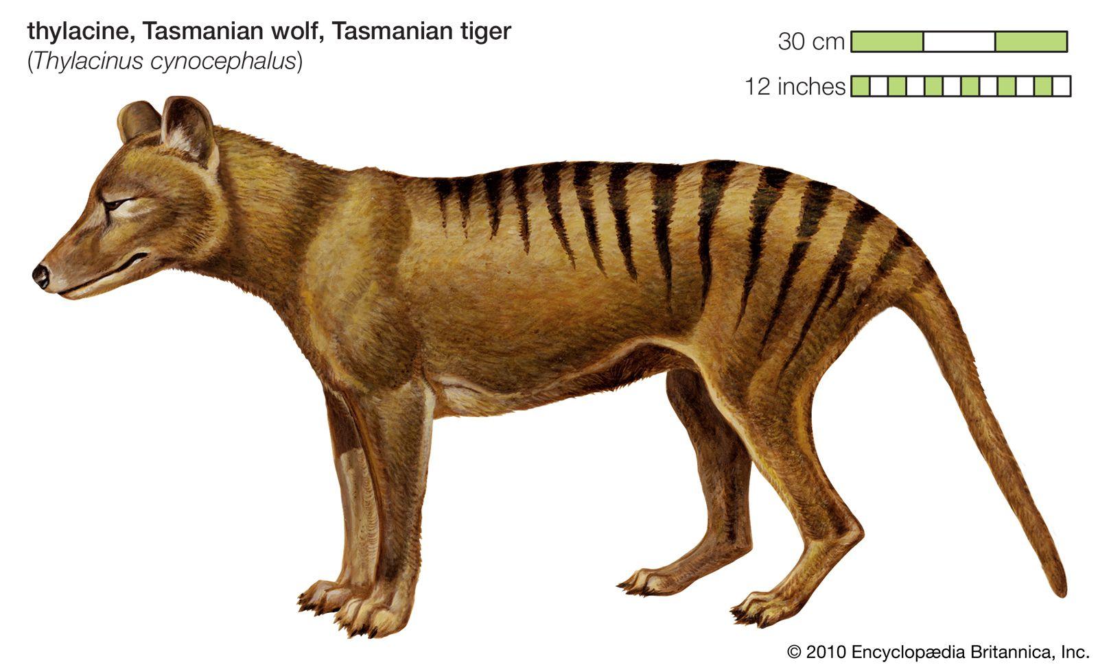 Thylacine Artist's rendering of a thylacine. Credit