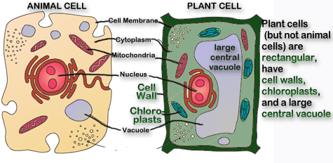 plant cell versus animal cell Google Search Cells