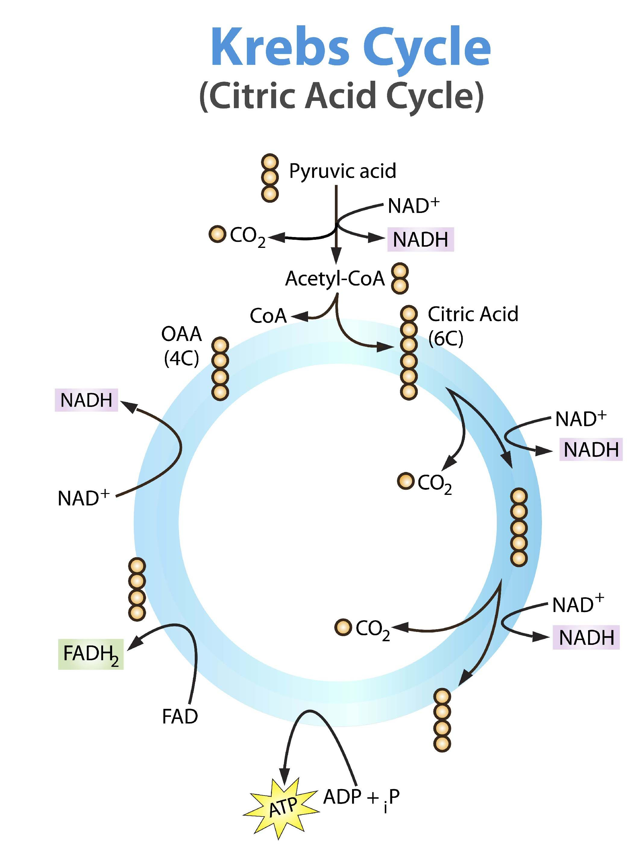 Krebs cycle simple and easier to read Biology