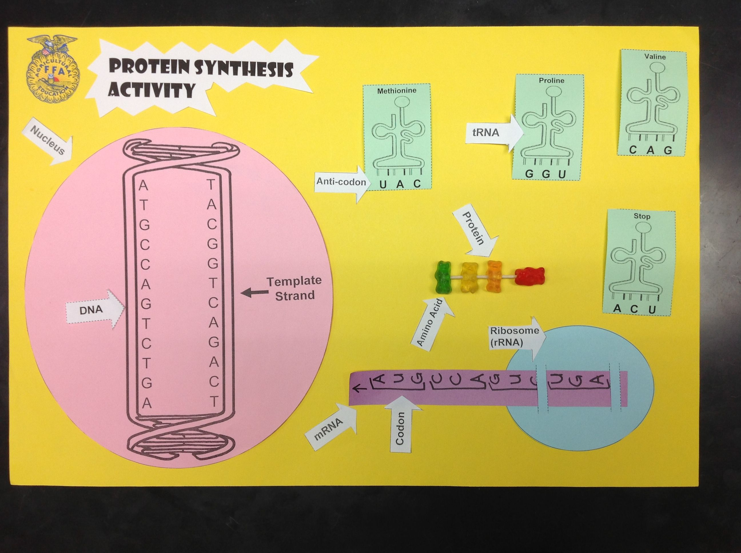 Check Out This Protein Synthesis Activity I Created For My