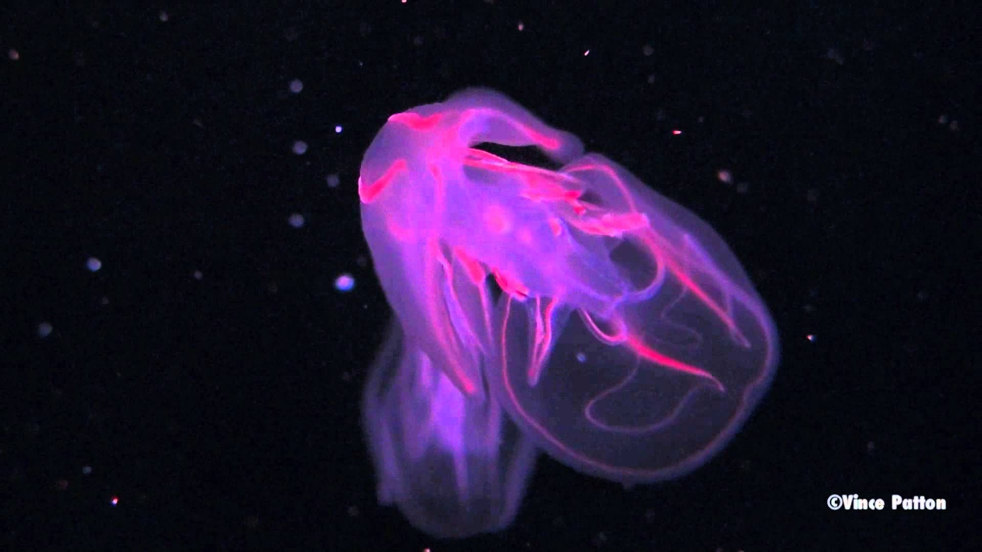 Bioluminescent Jellyfish Pulse And Strobe With Rainbows Of