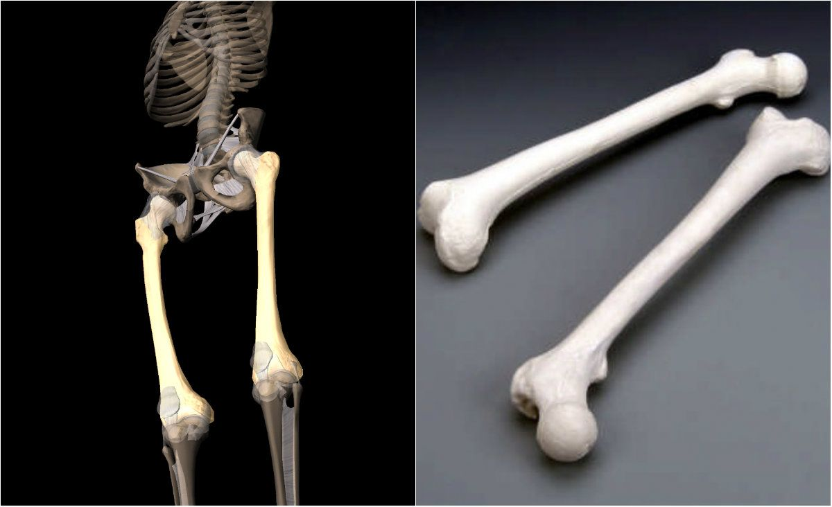 Image result for pictures of human thigh bones