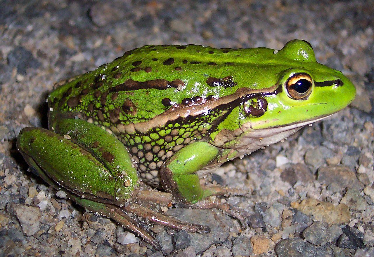 PHYLUM CHORDATE CLASS AMPHIBIA grass frog Kingdom Animal