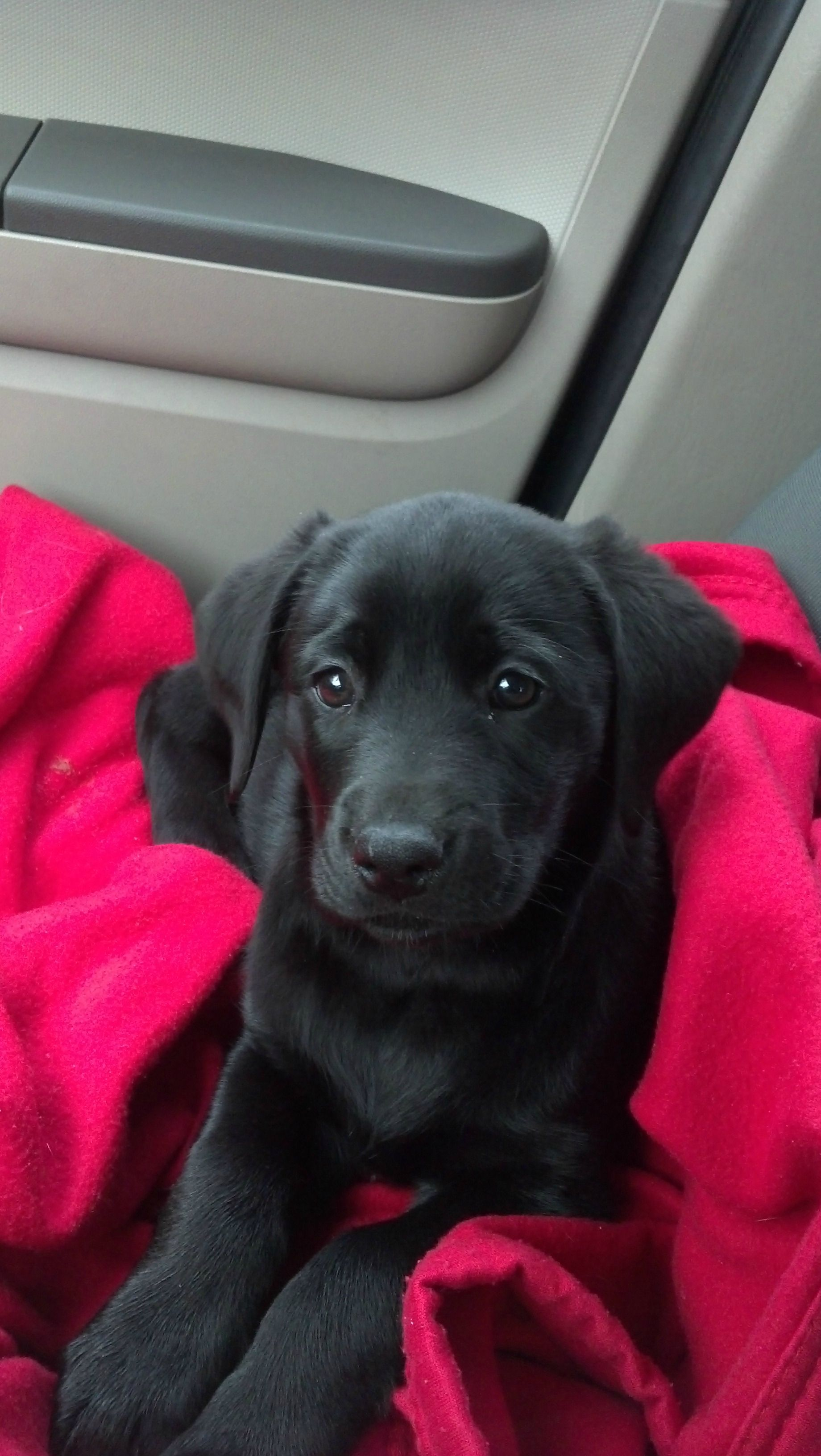 My first black lab of my own after having two growing up