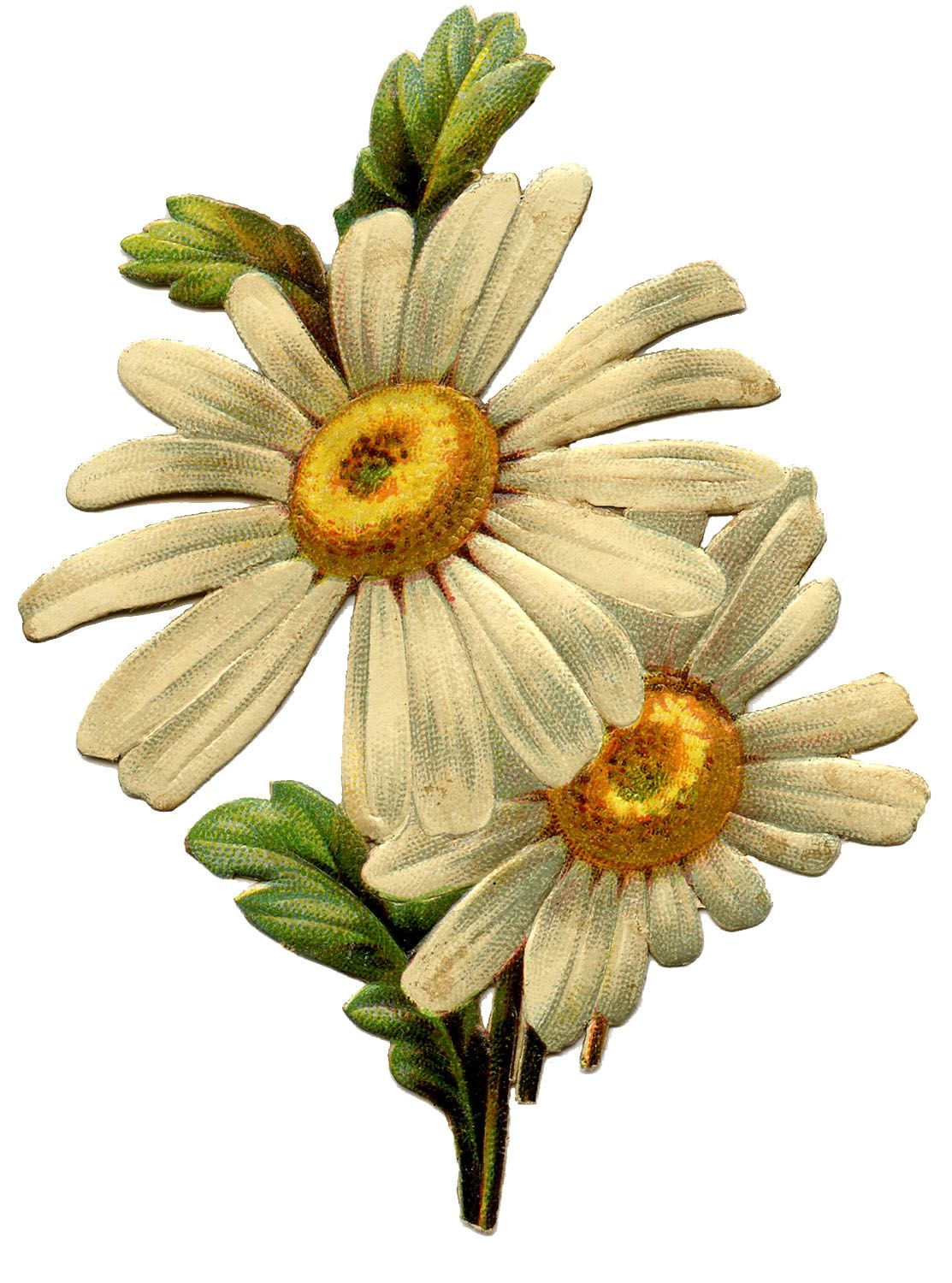 Vintage Daisy Image Graphics fairy, Vintage images and