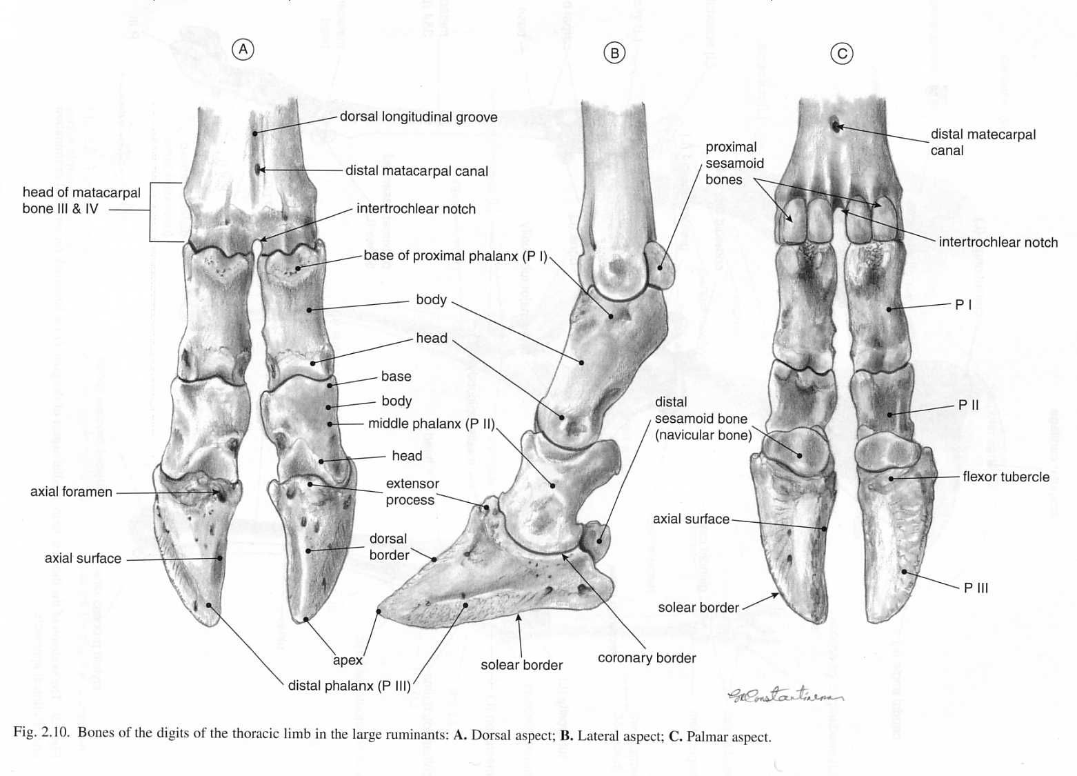 Ox Digits Bones Of Hooves Amp Lower Limbs Ox Similar To