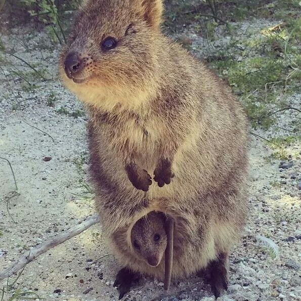Quokka and baby Quokka in pouch. Quokkas only live on one