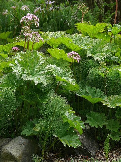 Darmera peltata 6 Northern california, Perennials and