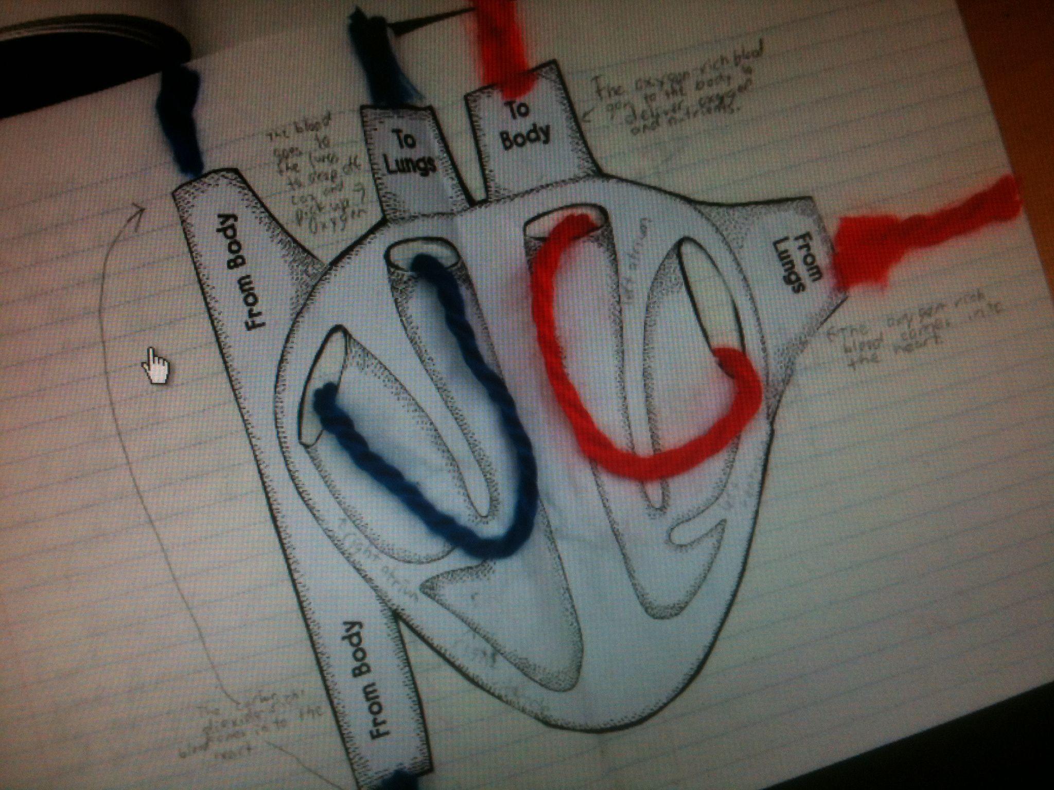 The 25 Best Circulatory System Ideas