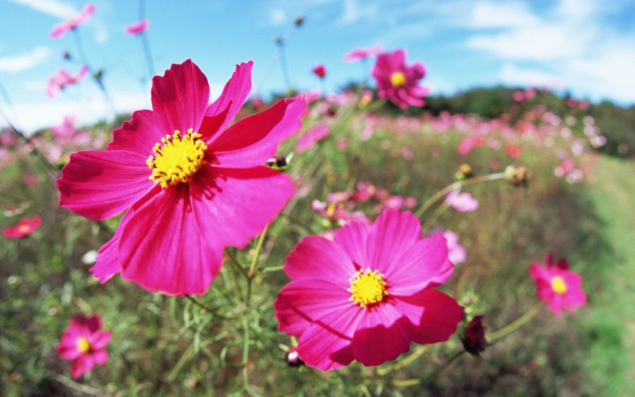cosmos flowers   pink flowers for october wedding   Wedding     cosmos flowers   pink flowers for october wedding