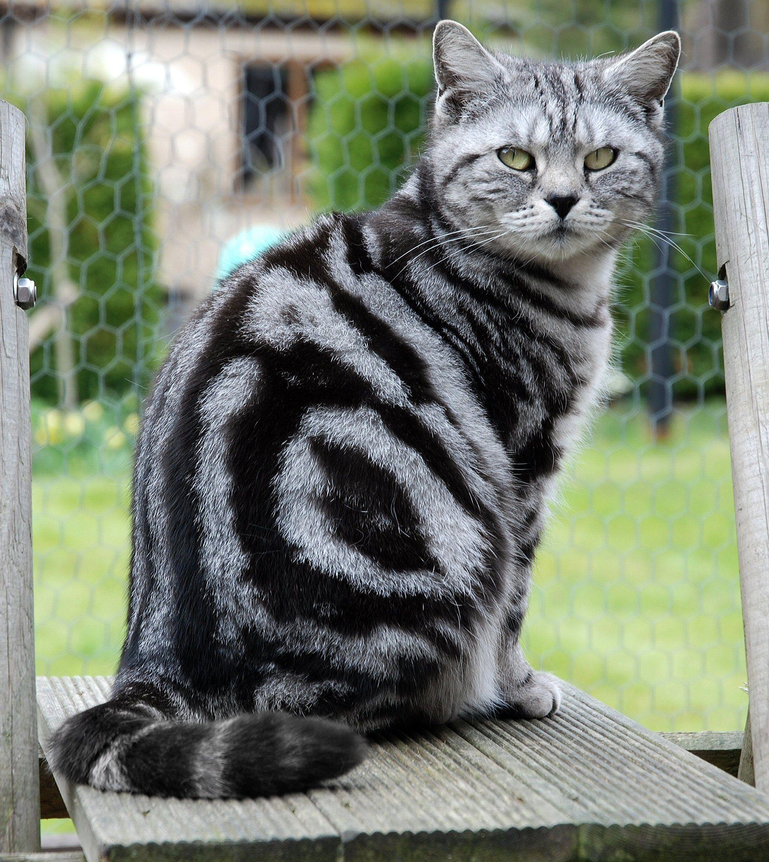 Black Classic Tabby British Shorthair Cat British