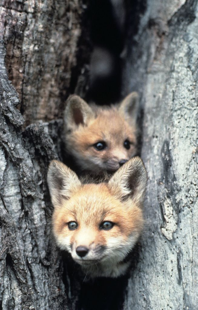 Red Fox Pups Foxes, Animal and Red fox