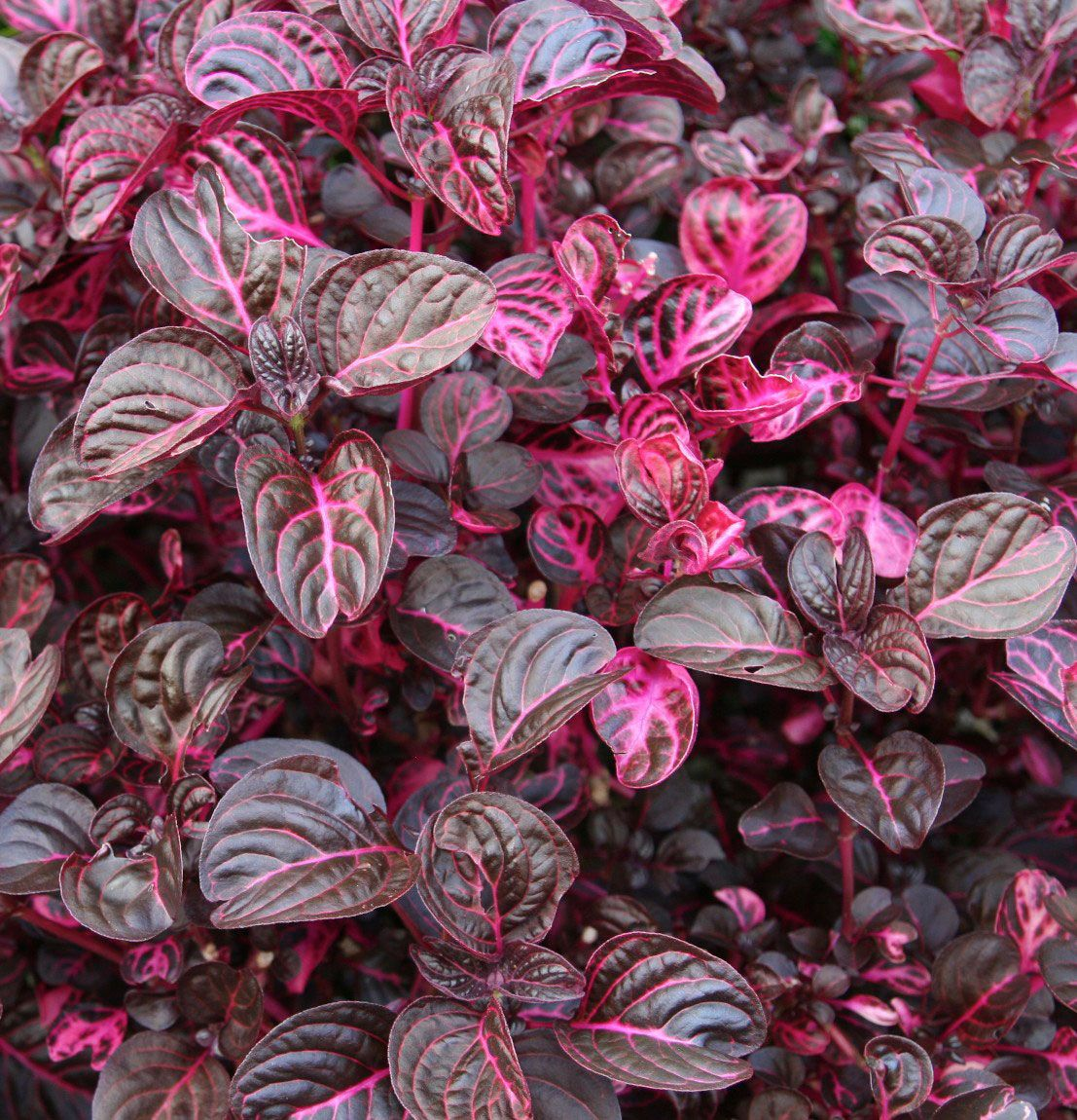 Blood Leaf Plant (Iresine herbstii) There are many