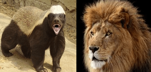 Honey badger vs lion fight and facts wild animals