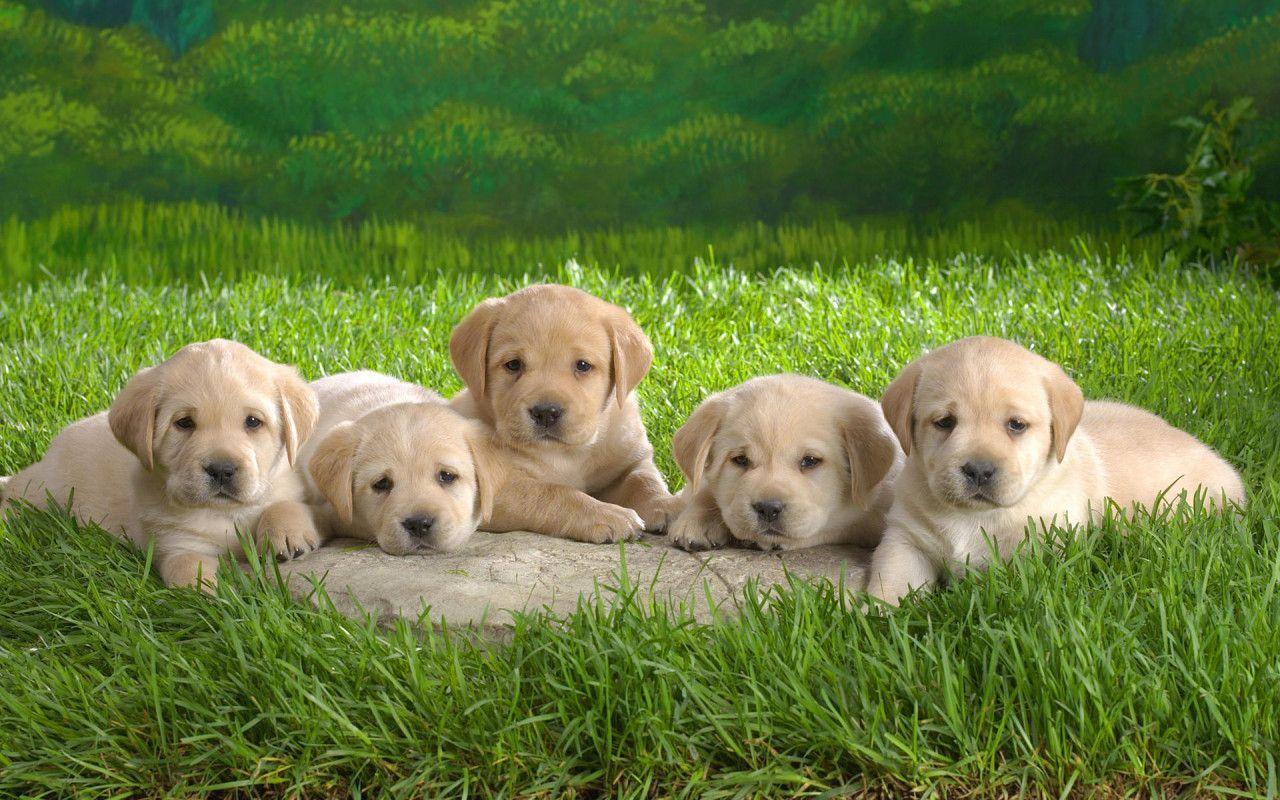 puppy wallpapers free wallpaper | hd wallpapers | pinterest