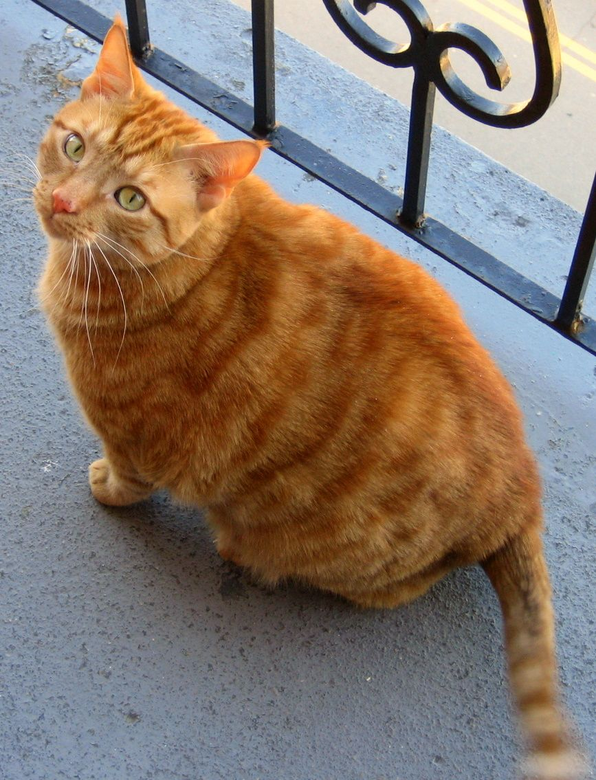Orange Orange Tabby Cats Pctures and Info Cats Breeds