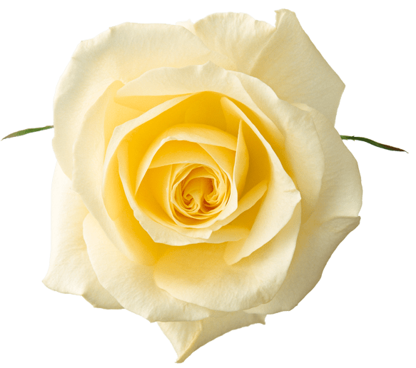 Free Clipart Yellow Rose PNG Elements Floral