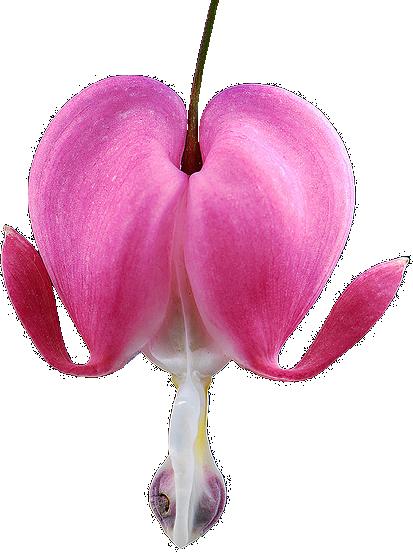 transparentflowers Bleeding Heart. Lamprocapnos