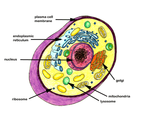 26 terms · Cell, Cell Wall, Cytoplasm, Cell Membrane