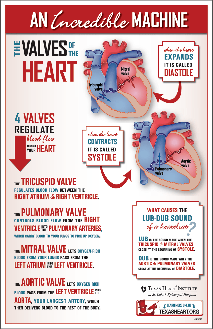 Fun infographic about the heart valves, part of the
