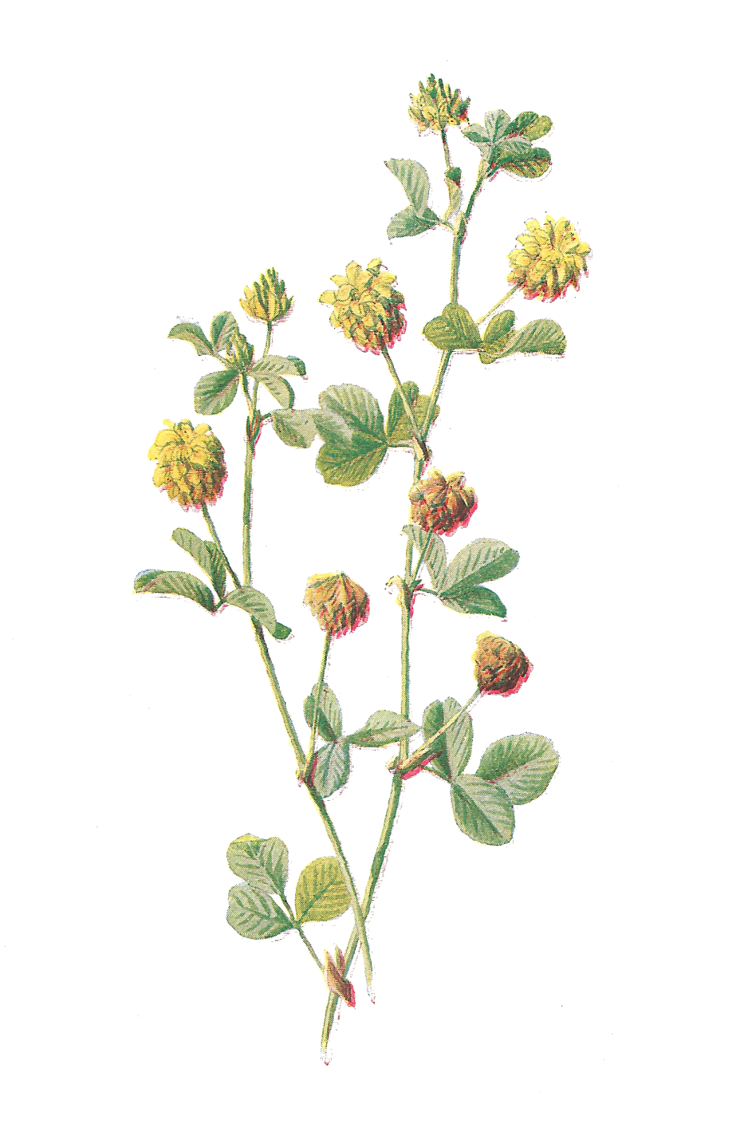 Antique Images Free Flower Graphic Wildflower Clip Art