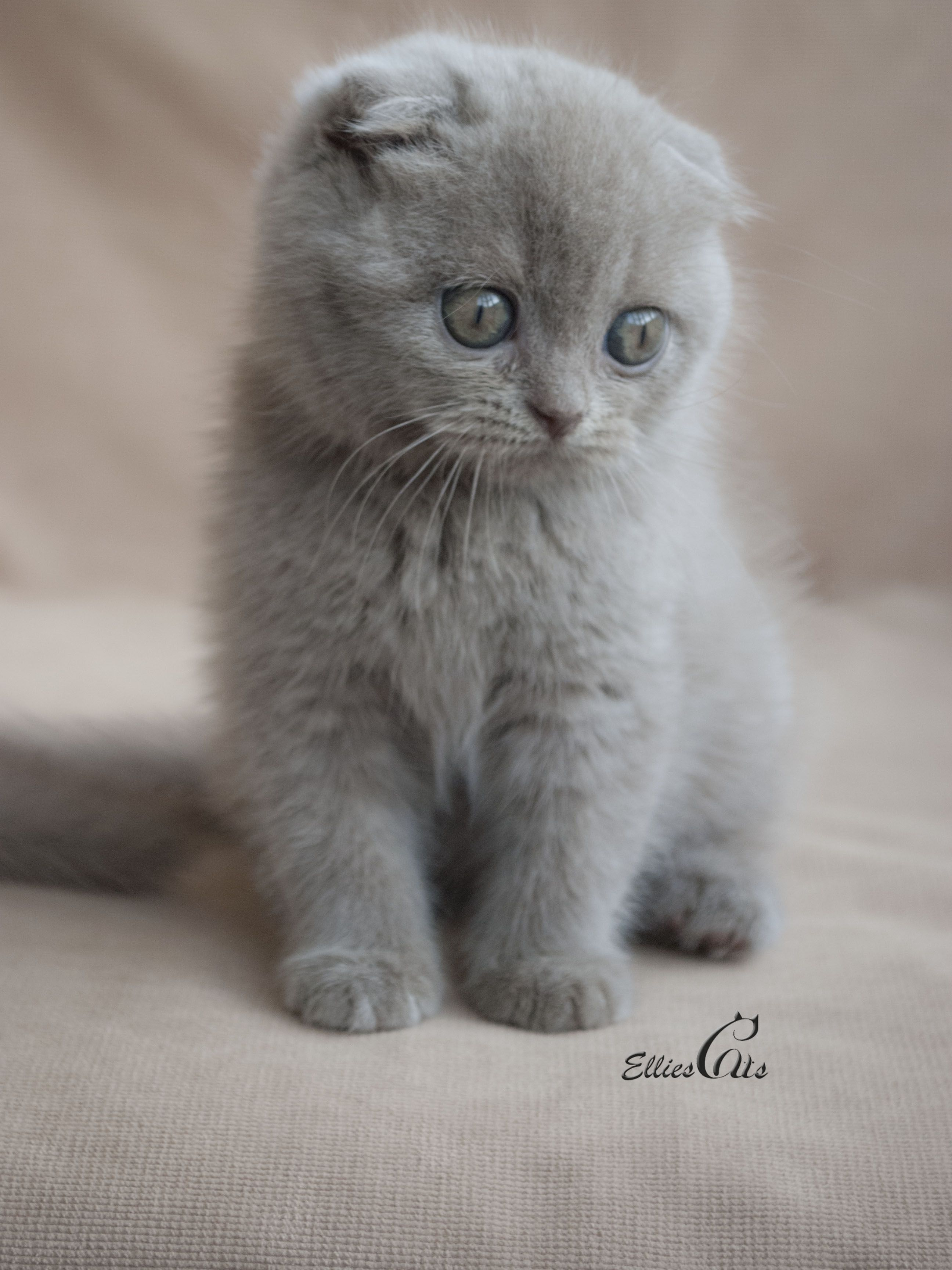 Different Type of Cats Scottish fold, Cat and Cat lady