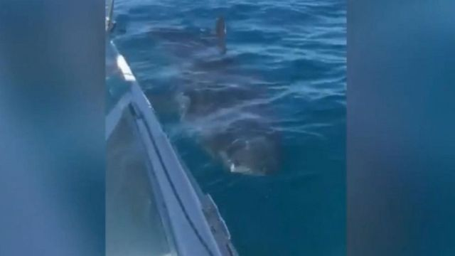 VIDEO: The shark spent 20 minutes circling the boat off the Australian wing.