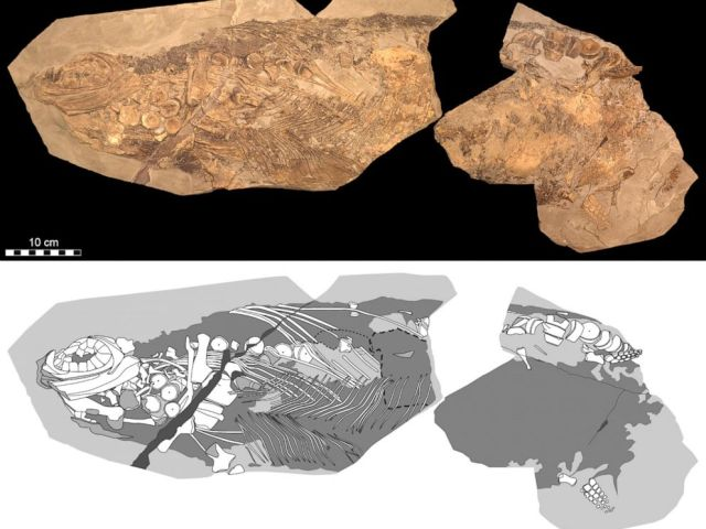 PHOTO: An 180-million-year-old ichthyosaur (literally 'fish-lizard') fossil has been discovered. Photographic (top) and diagrammatic (bottom) representation of the 85-cm-long fossil.