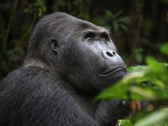 PHOTO: A lowland gorilla is seen in the Kahuzi-Biega National Park in South Kivu, in the Democratic Republic of eastern Congo, on 5 November 2012.