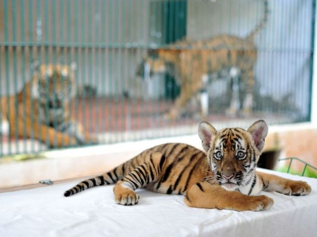 PHOTO: A southern Chinese tiger cub is shown to the public at the Guangzhou Zoo on June 22, 2017, in Guangzhou, China.