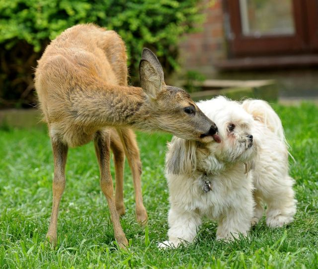 Oh Deer These Two Friends Are Too Cute Picture Animal Kingdoms Odd Couples Abc News