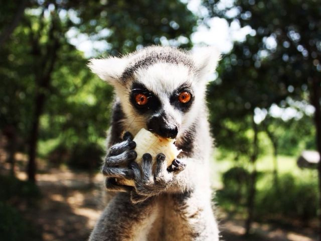 PHOTO: A lemur eats fruit in an undated stock photo.