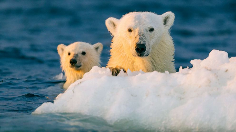 Polar Bears May Be Extinct By 2100 If Arctic Ice Melts At Projected Rate According To New Study Abc News