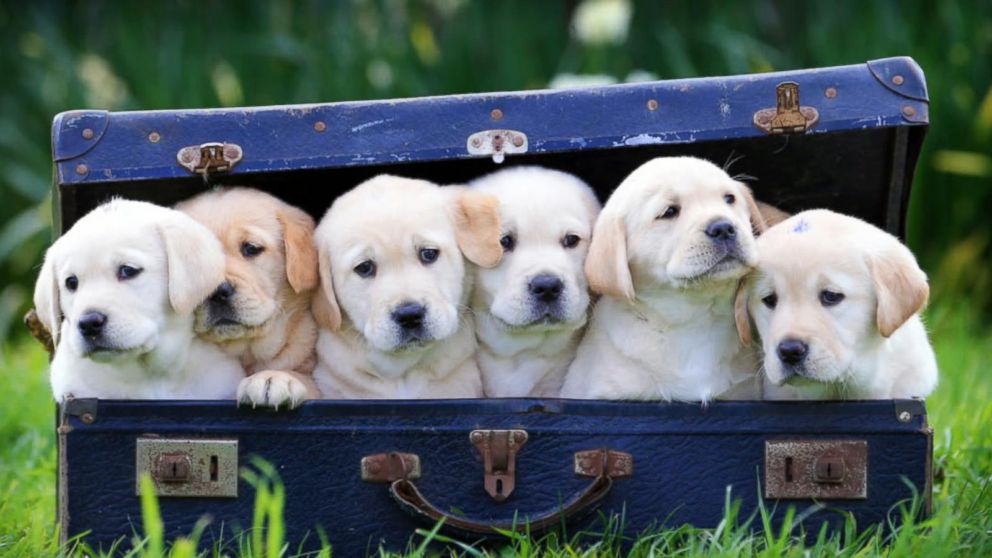The History Of Dogs As Pets Abc News
